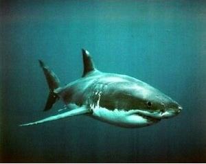 Amazon.com: Great White Shark Post Art Print: Shark Poster ...