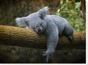 Sleeping Koala Bear Canvas Print