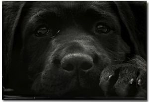 Black Labrador dog  Magnet